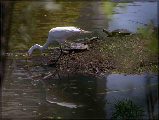 Garza blanca/Great Egret