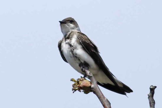 Golondrina parda/Brwon-chested Martin