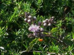 Hierba de San Simón/Vernonia scorpioides
