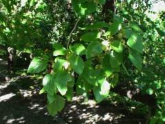 Mora blanca/White Mulberry