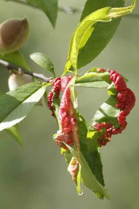 torque del duraznero/peach leaf curl