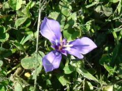 Tres puntas/Herbert's iris