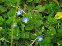 Verónica de campo/Grey-filed Speedwell