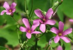 Vinagrillo rasado/Pink sorrel