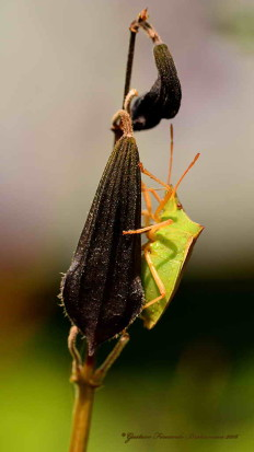 Chinche de los cuernos/Horn bug