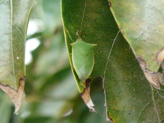 Chinche verde/Green Stink bug
