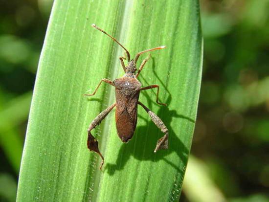 Chinche foliada/Leaf-footed bug