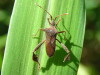 Chinche foliada/Leaf-footed Bug