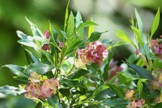 Chirca/Dodonaea viscosa