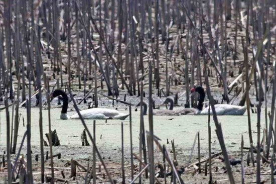 Cisne cuello negro/Black-headed Swan