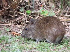 Cuis/Brazilian guinea pig