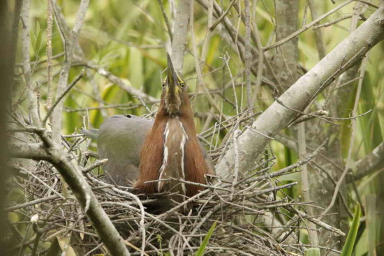 Hocó colorado/Reufescent Tiger-Heron