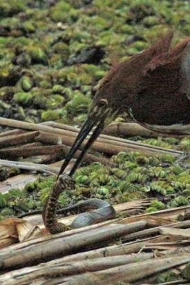 Hocó-culebra/Tiger-Heron-Snake