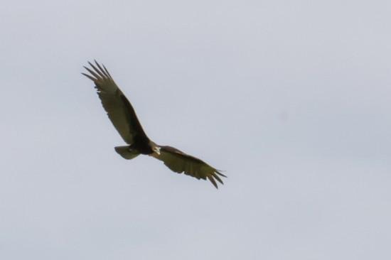 Jote cabeza amarilla/Lesser Yellow-headed Vulture
