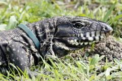 Lagarto overo/Black-and-white Tegu