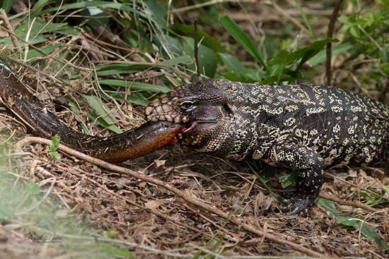 Lagarto-anguila criolla/Tegu-Swamp eel
