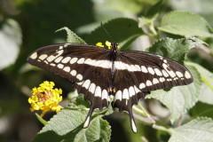 Limonera grande/Thoas Swallowtail