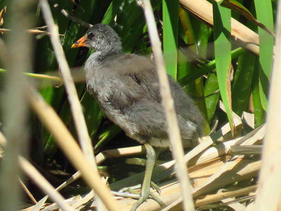Pollona negra/Common Gallinule