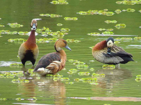Siriríes/Whistling-Ducks
