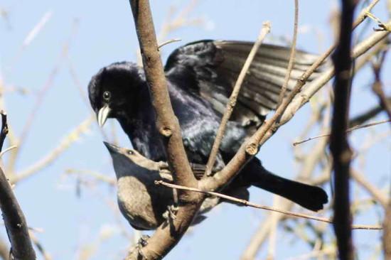 Tordo renegrido/Shiny Cowbird