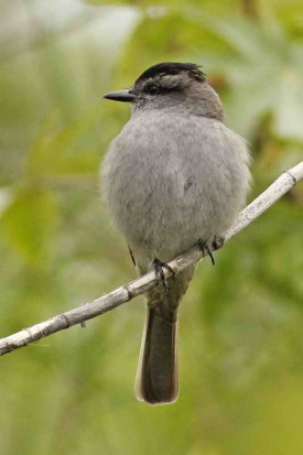 Tuqiuito gris/Crowned Slaty Flycatcher