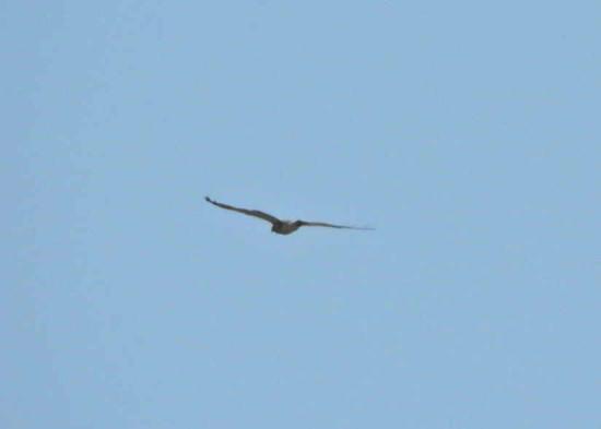 Aguilucho langostero/Swainson's Hawk