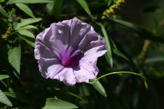 Campanilla lila/Morning glory