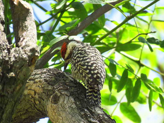Carpintero bataraz chico/Checkered Woodpecker