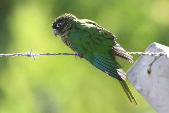 Chiripepé cabeza verde/Maroon-bellied Parakeet