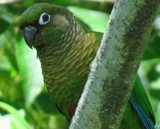 Chirirpepé cabeza verde/Maroon-bellied Parakeet