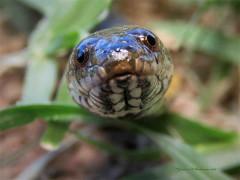 Culebra acuática/Colubroidean snake