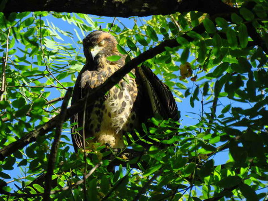 Gavilán mixto/ Harris's Hawk