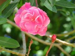 Laurel de jardín/