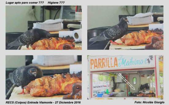 Paloma deoméstica/Rock Pigeon