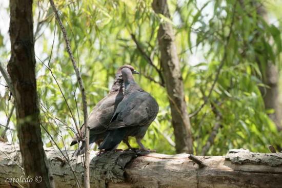 Paloma picazuró/Picazuró Pigeon