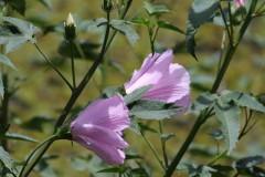 Rosa de río/Striped rosemallow
