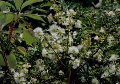 Timbó/Pacara earpod tree