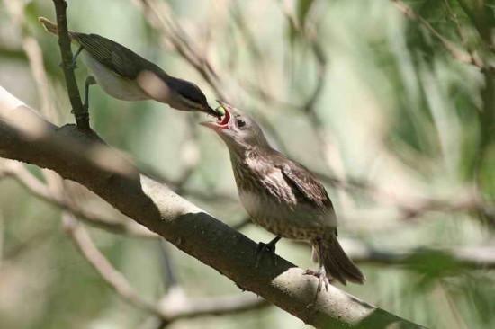 Tordo-chiví/Cowbird-Vireo