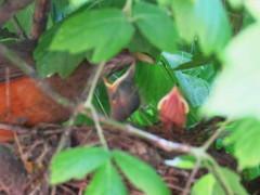 Zorzal colorado/Rufous-bellied Thrush