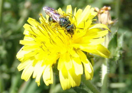 Abeja del sudor/Sweat bee