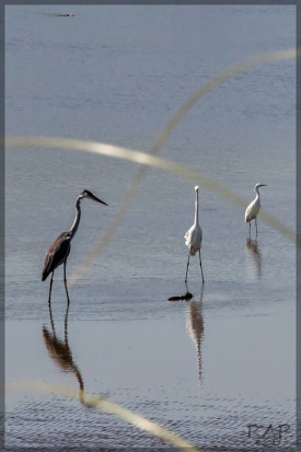 Garzas/Heron and egrets