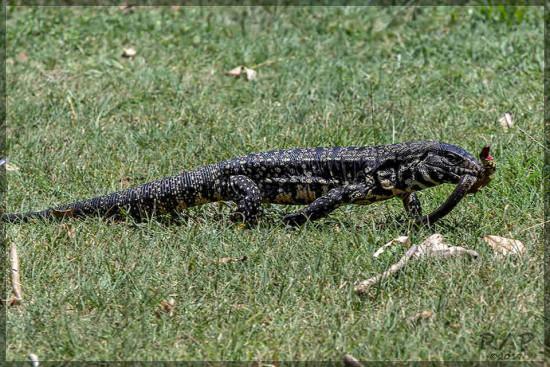overo-culebra/Tegu-snake