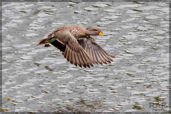 Pato barcino/Ye..ow-billed Teal