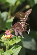 e oro/Polydamas Swallowtail
