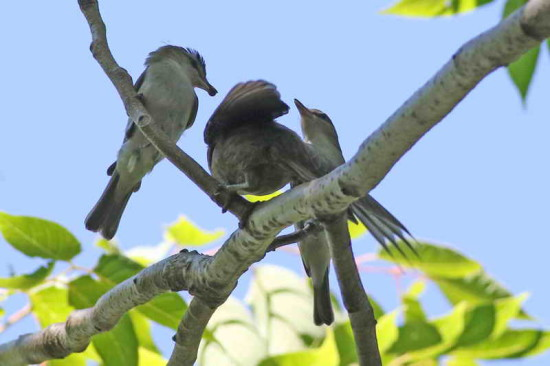 Chiví-tordo/Vireo-Cowbird