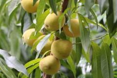 Durzano/Peach