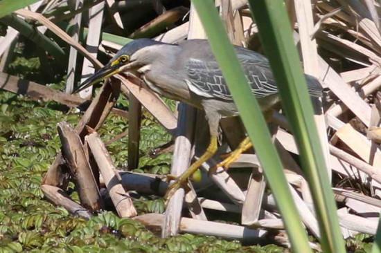 Garcita azuladad/Striated Heron