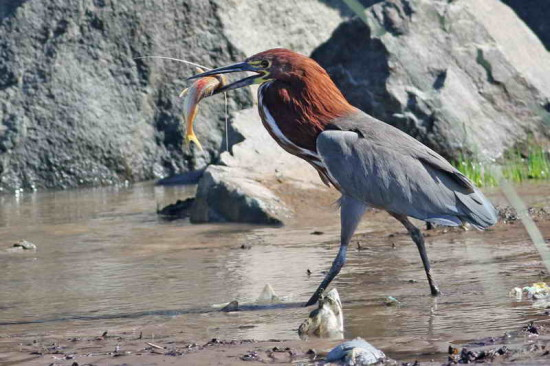 hocó-trompudo/Tiger-Heron-Long-whiskered catfish