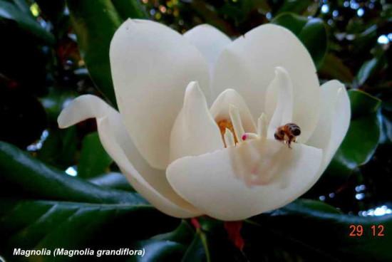 magnolia NGG 29 12 16_3
