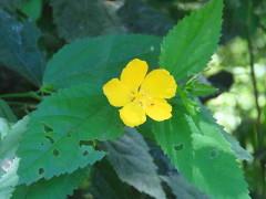 Malva de bosque/Pavonia sepium